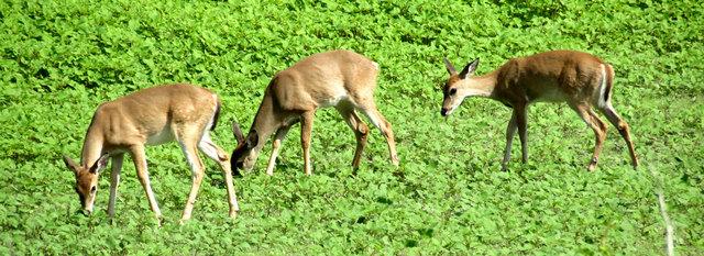 Deer graze on the Heard Wildlife Sanctuary