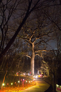 250-year-old Bur Oak